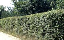 Rośliny na żywopłot iglasty i żywopłot liściasty. Jakie wybrać krzewy iglaste i liściaste na żywopłoty