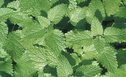Rośliny przeciw szkodnikom: aksamitka, majeranek, komosa. Zobacz, jak odstraszyć szkodniki roślin